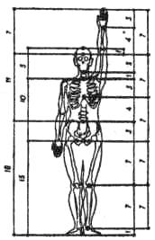 Соразмерность тела человека