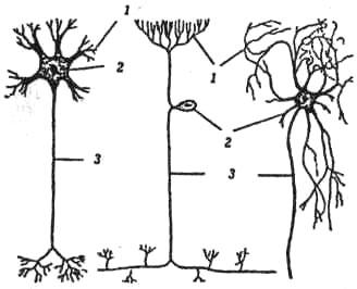 Три типа нейронов