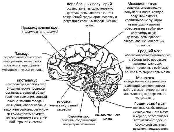 Строение головного мозга.
