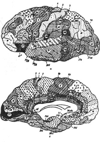 Цитоархитектопические поля коры больших полушарий у человека