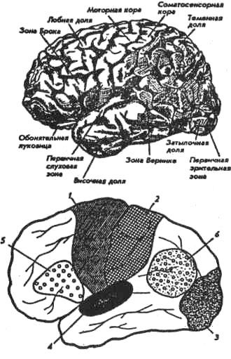 Локализация основных функций в коре головного мозга