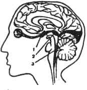 Анатомическое расположение образований зрительного анализатора
