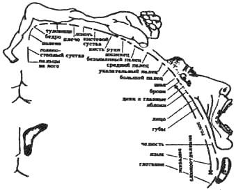 Относительное представительство различных частей тела в коре головного мозга