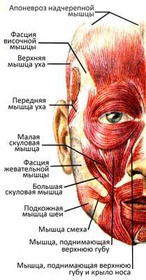 Несколько десятков мышц лица формируют сотни его мнемических выражений