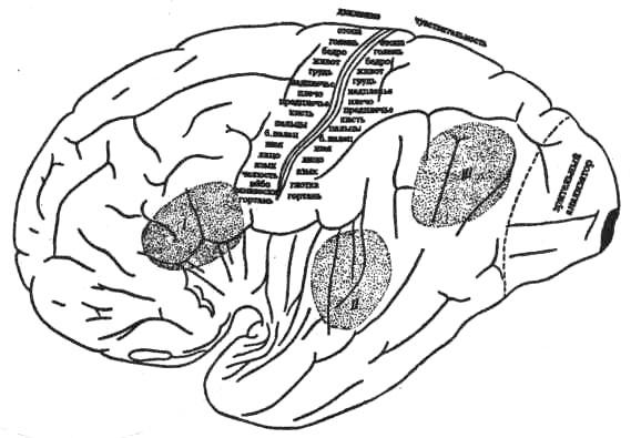 Область двигательного, кожного, зрительного, слухового и речедвигательного анализаторов в коре мозга у человека