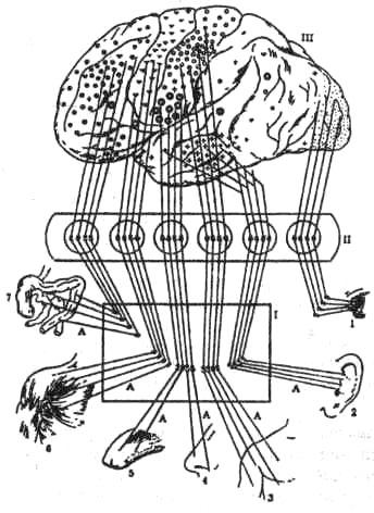 Схема строения анализаторов