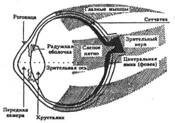 Строение зрительного рецептора