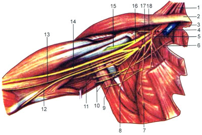 Нервы плечевого сплетения
