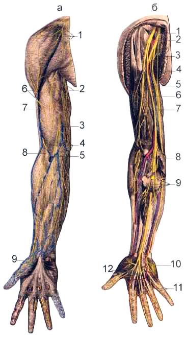 Нервы передней поверхности правой верхней конечности