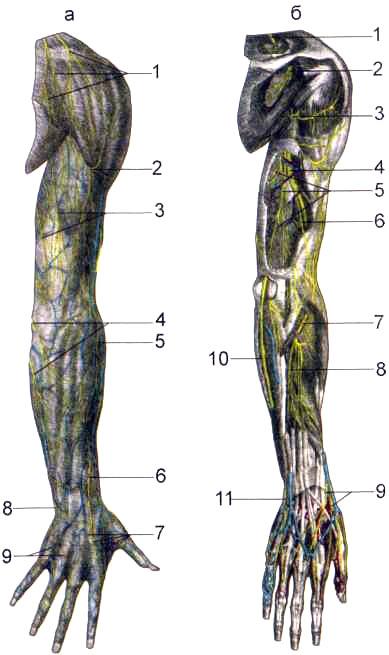 Нервы задней поверхности правой верхней конечности