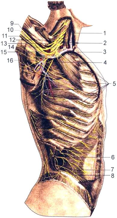 Плечевое сплетение и передние ветви грудных нервов