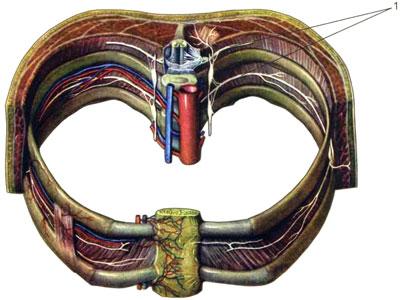 Межреберные артерии, вены и нервы
