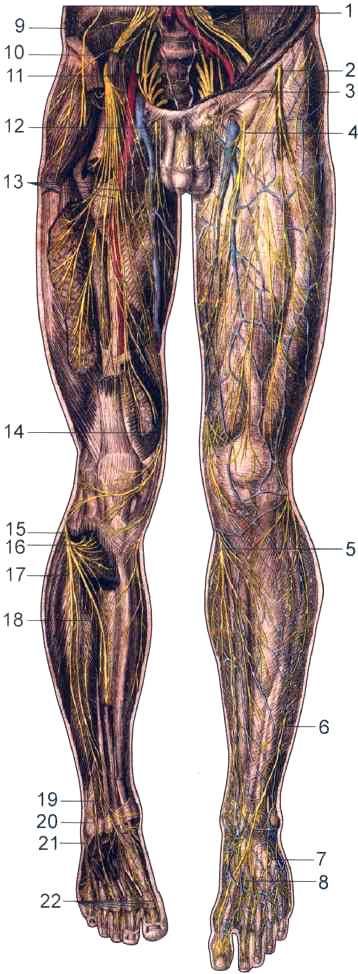 Нервы нижних конечностей, спереди