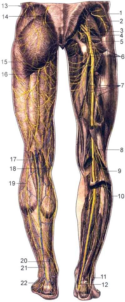 Нервы нижних конечностей, сзади