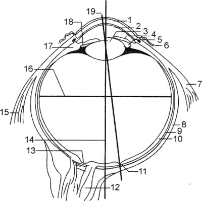 Глазное яблоко; разрез в горизонтальной плоскости