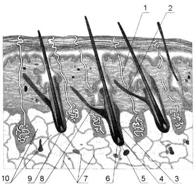 Разрез кожи (стрение)
