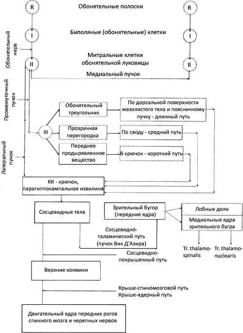 Схема проводящего пути обонятельного анализатора