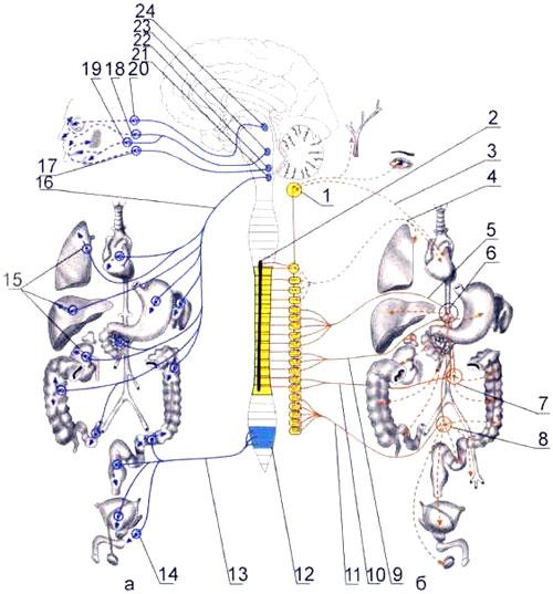 Вегетативная иннервация внутренних органов: парасимпатическая часть, симпатическая часть