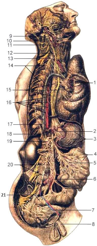 Шейный, грудной, брюшной и тазовый отделы вегетативной нервной системы
