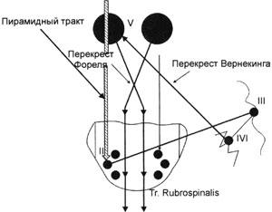 Фрагмент tr. cortico-ponto-bicerebello-rubro-spinalis