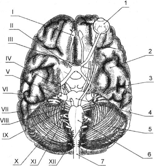 Схема выхода черепных нервов