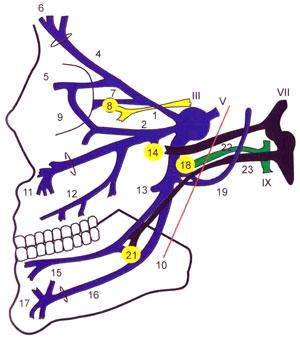 Схема связей парасимпатических волокон третьих, седьмых и девятых черепных нервов с парасимпатическими узлами и ветвями пятого черепного нерва