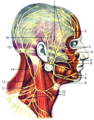 Поверхностные нервы головы и шеи