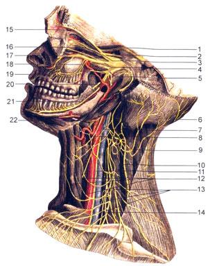 Нервы головы и шеи
