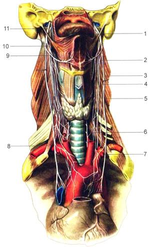Нервы шеи