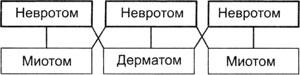 Схема расположения миотомов и дерматомовпосле образования конечностей