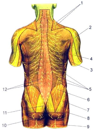 Области распространения кожных нервов туловища