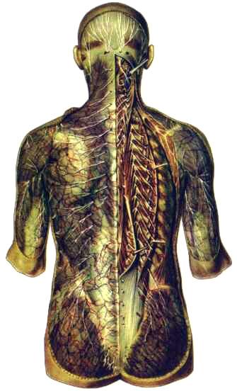Задние ветви спинномозговых нервов
