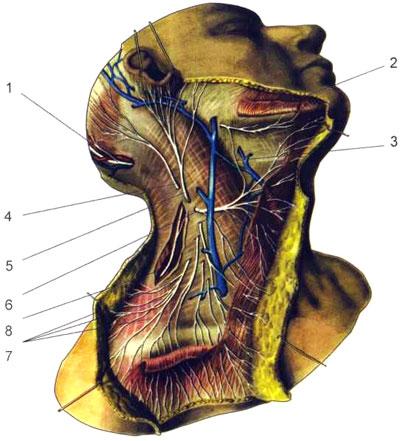Кожные нервы шеи