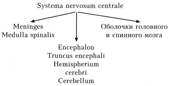 Systema nervosum