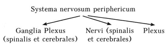 Systema-nervosum
