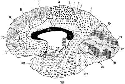 Ареальная карта по К. Бродману. Внутренняя поверхность