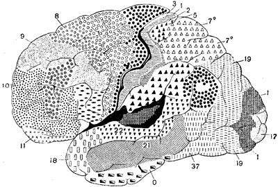 Ареальная карта по К. Бродману. Наружная поверхность