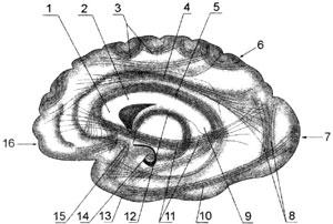 Схема расположения ассоциативных волокон в правом полушарии