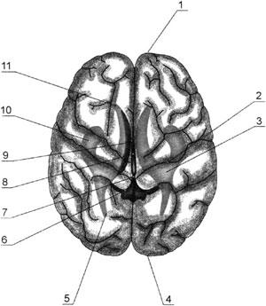 Взаиморасположение отделов боковых желудочков в долях полушарий большого мозга