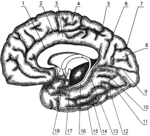Борозды и извилины правого полушария большого мозга; медиальная и нижняя поверхности