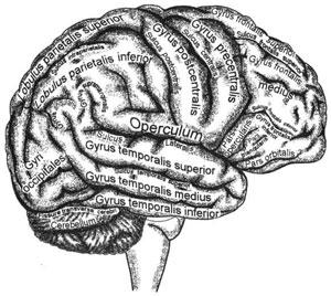 Борозды и извилины верхнелатеральной поверхности правого полушария большого мозга