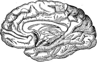 Центры на внутренней поверхности головного мозга