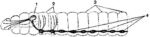 Цепочечная нервная система дождевого червя