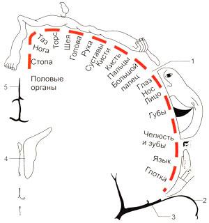 Чувствительный гомункулус