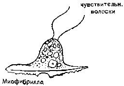Диффузная нервная система медузы