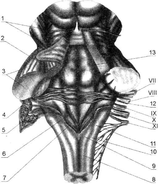 Дорзальная поверхность ствола мозга
