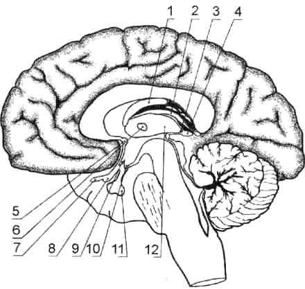 Головной мозг, срединный сагиттальный срез