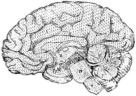 I — полушария головного мозга; II — промежуточный мозг; III — средний мозг; IV — задний мозг; V — продолговатый мозг