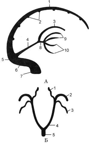 Схема образования глубоких вен полушарий большого мозга