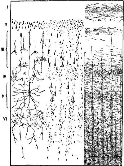 Слой нервных клеток и нервных пучков в коре большого мозга человека